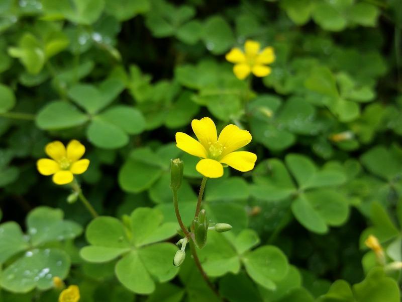 田んぼのあぜに咲く花