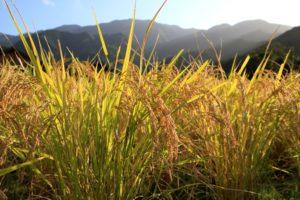 穂田琉の農作業風景(米, 金賞, 愛媛のお米)