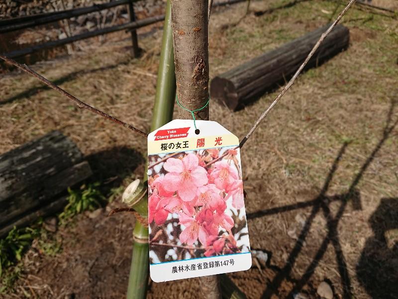 陽光桜の植樹のようす(穂田琉)